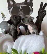 Französische Bulldogge welpen djdj