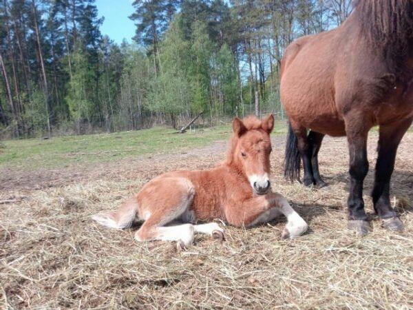 Ponny Fohlen Stute
