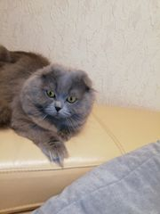 Scottish fold langhaar Kater