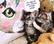Wunderschöne Kitten Canadische Sphynx