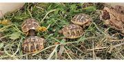 Griechische Landschildkröten Nachzuchtrn