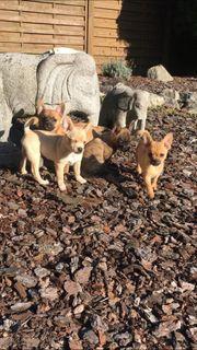 Pomeranian Französische Bulldoggen Babys