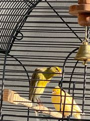 Kanarienvögel Bossu Belge Hahn