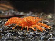 Suche CPO Orangene Zwergflusskrebse