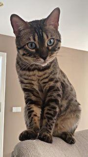 Bengal Katze Kater gechipt geimpft