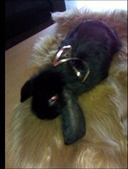 Widder Kaninchen