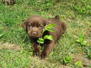 Niedliche braune Labradorwelpen