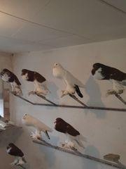 Pommersche Kröpfer Pommern Tauben
