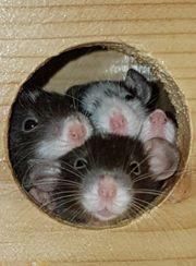 Ratten Farbratten Jungtiere aus kleiner