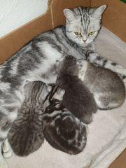 BKH kitten Wurf Ankündigung