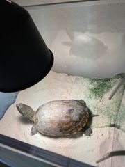 Wasserschildkröte - chinesische Dreikielschildkröte