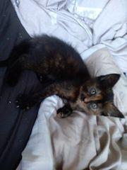 sibirische Waldkatzen mix kitten