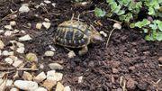 Suche Thh Südfrankreich Varoise Schildkröten