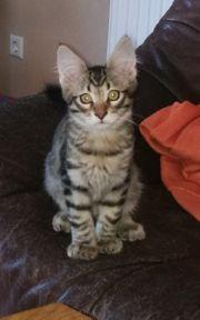 3 Maine Coon Birma Kitten
