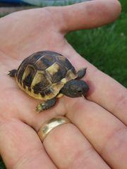 Griechische Land-Schildkröte Babys