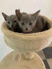 Russisch Blau Reinrassig Kitten