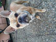 Französische Bulldogge Fawn-Merle Deckrüde