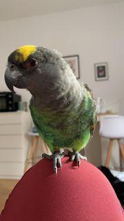 Goldbugpapagei oder noch Meyer Papagei