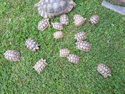 Breitrandschildkröten - Testudo marginata - Nachzuchten 2019