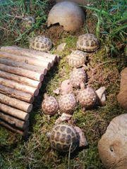 Steppenschildkröten Nachzuchten 1 u 2