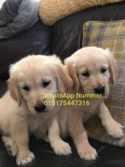 Golden retriever welpen super gigjj