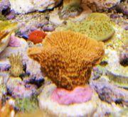 Korallenableger- Montipora capricornis mit Versand