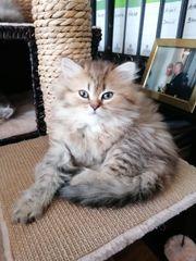 Perser Kitten super süß