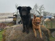 Hundewelpen Harzer Fuchs x Altdeutscher