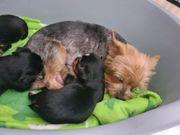 mini Yorkshire Terrier Ahnentafel Welpen