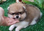 Pomeranian Welpen zu verkaufen