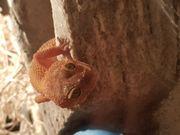 2 Leoparsgecko weibchen