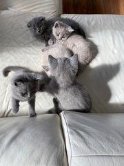 Katzenbabys BKH und Scottish Fold