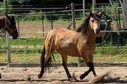 Suche Pony Klein - Pferd Beisteller