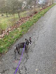 Französische Bulldogge merle weiblich