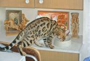 Bengalen aus einer Elitezucht Katzen