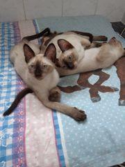 Wunderschöne gesunde Siam seal-point Kätzchen