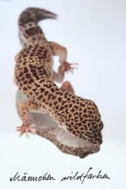 Leopardgecko 1 0 Wildfarben