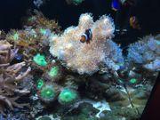 Lebendgestein Korallen Fische Krabbe und