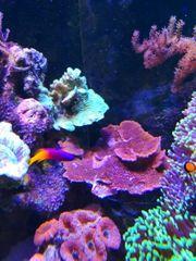 Montipora Platte SPS rot Korallen