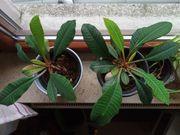 Spuckpalme Zimmerpflanze BtBj