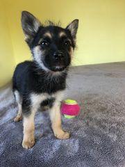 Welpe in Görlitz Hunde kaufen & verkaufen auf