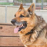 Curaj 10J verschmuster liebevoller Schäferhund-Mix