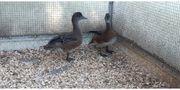 Pfeifenten Enten