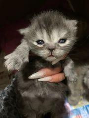 nur noch zwei Perser Kitten