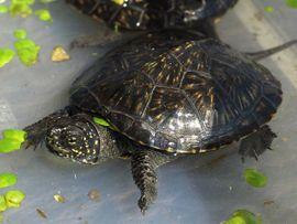 Europäische Sumpfschildkröte - Emys orbicularis - Teichschildkröte -: Kleinanzeigen aus Ibbenbüren Laggenbeck - Rubrik Reptilien, Terraristik