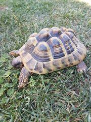 Griechische Landschildkröte Thb Nachzucht 2013
