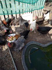 Hahn und 3 Hühner