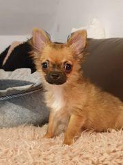 Chihuahua Welpe 5 Monate