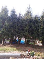 Fichtenbäume ca 12 m hoch