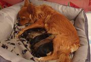 Süße Chihuahua Langhaar Mädels